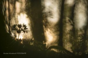 Bärlauch, Naturfotografie Karsten Mosebach
