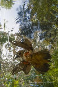 Eisvogel, Foto von Karsten Mosebach