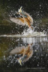 Eisvogel, Aufnahme des Naturfotografen Karsten Mosebach