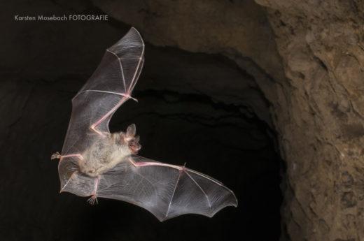 Fledermaus im Flug, Foto Karsten Mosebach