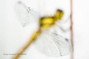 Heidelibelle, Foto Karsten Mosebach