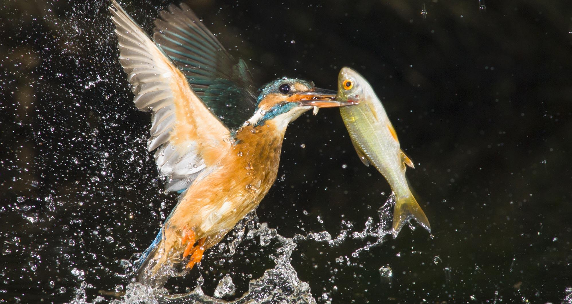 k-eisvogel-foto-karsten-mosebach