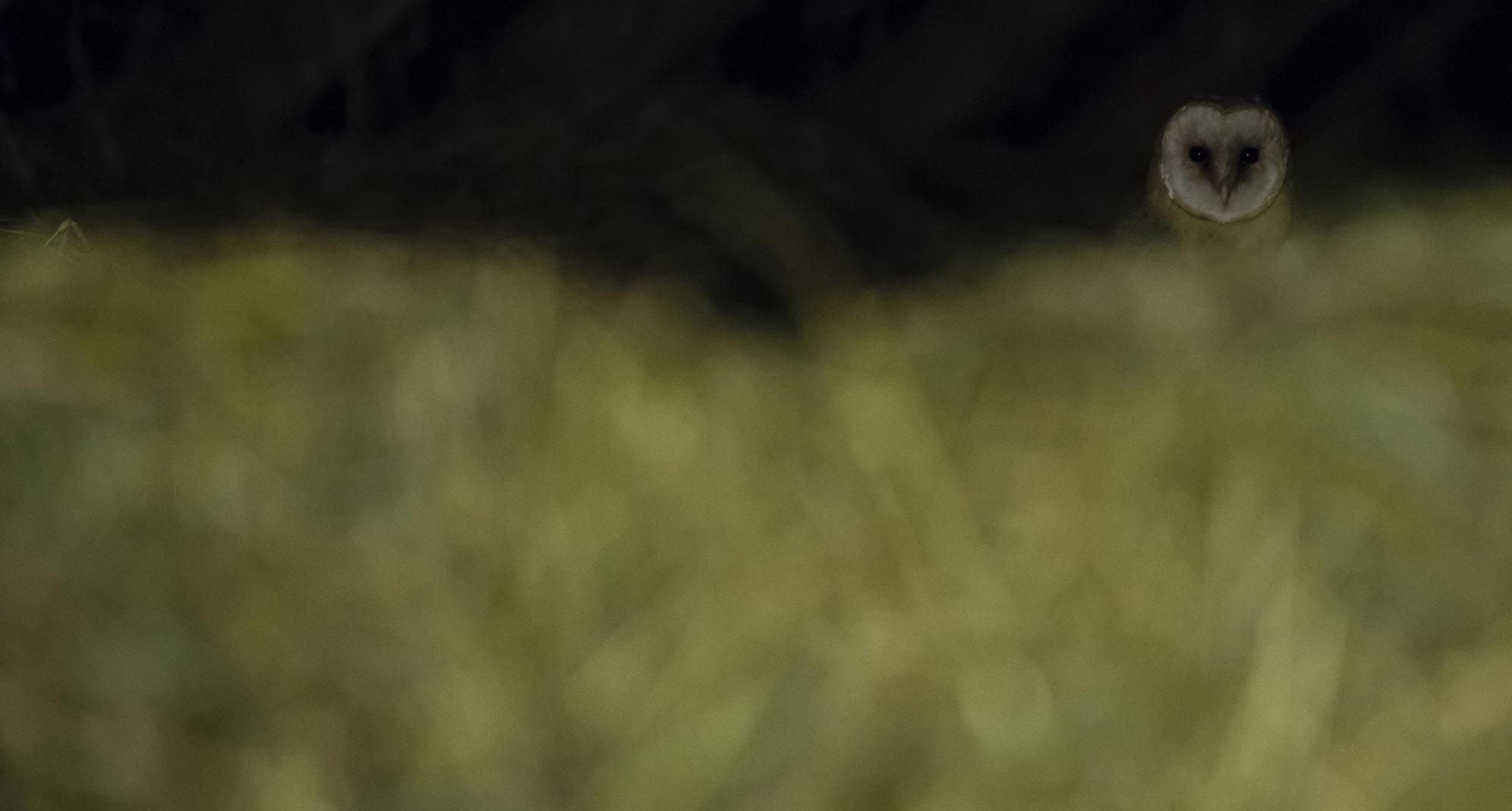 k-schleiereule-foto-8-karsten-mosebach