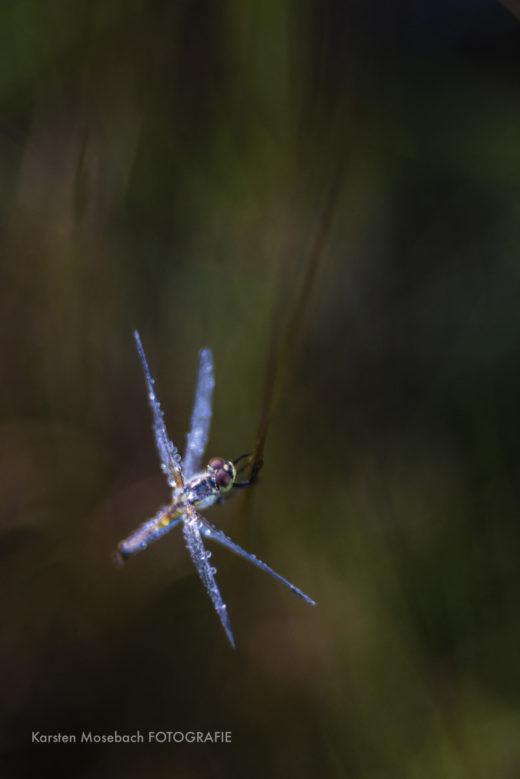 Libelle, Foto Karsten Mosebach