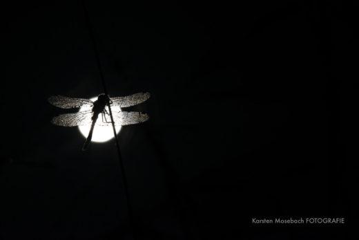 Libelle bei Nacht, Foto Karsten Mosebach