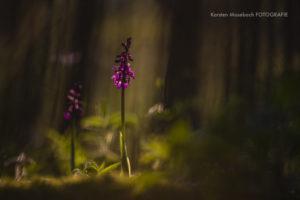 Mannsknabenkraut, Orchidee, Foto Karsten Mosebach