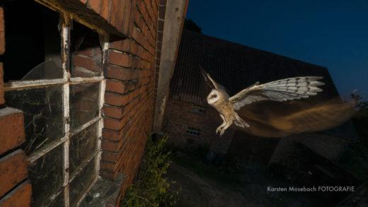 Schleiereule im Flug, Foto von Karsten Mosebach