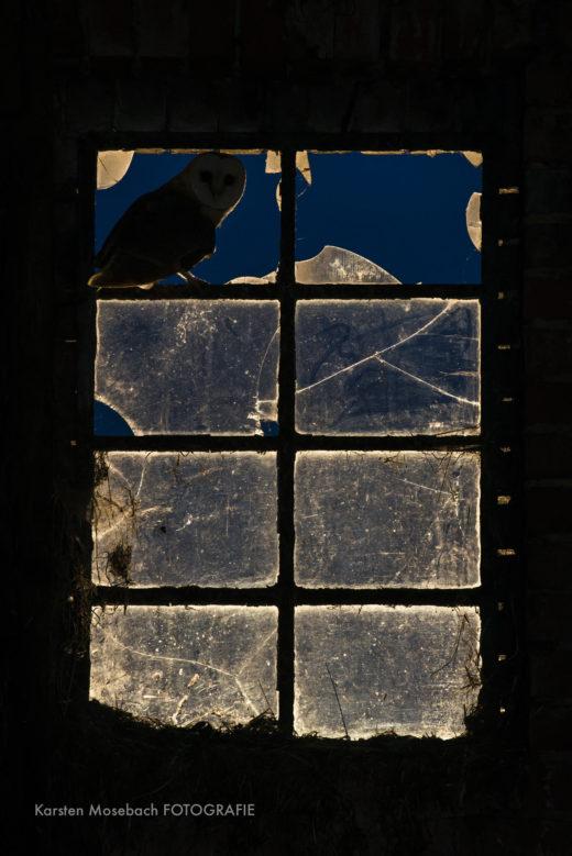 Schleiereule, Foto von Karsten Mosebach
