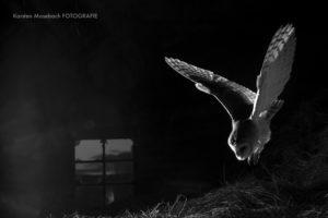 Schleiereule im Flug, Foto Karsten Mosebach