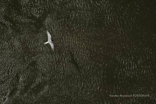 Seeschwalbe, Foto Karsten Mosebach