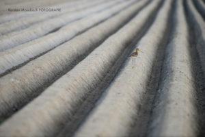 Uferschnepfe, Tierfotografie Karsten Mosebach