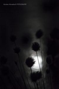 Wollgras, Foto Karsten Mosebach