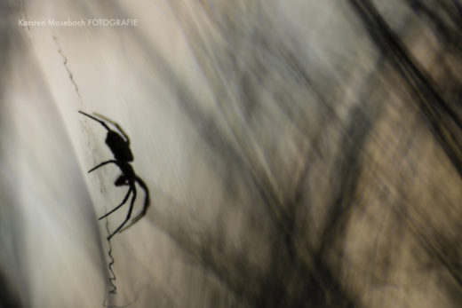 Zebraspinne, Foto von Karsten Mosebach
