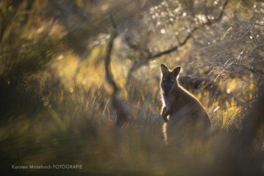 Karsten_Mosebach_Tasmanien_Känguru