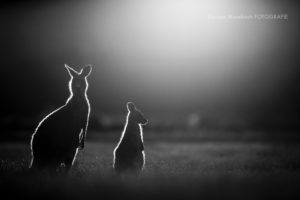 Karsten_Mosebach_Tasmanien_Känguru-7791