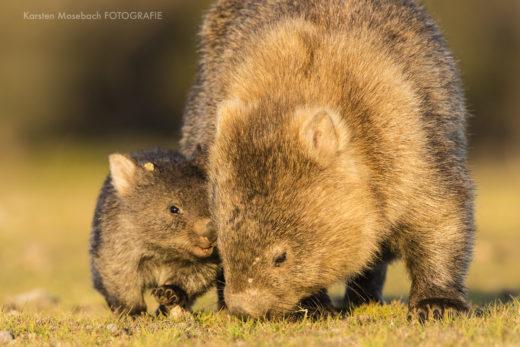 Karsten_Mosebach_Tasmanien_Wombat