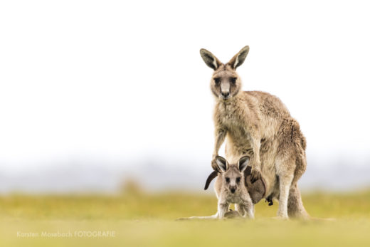 Känguru in Tasmanien, Foto Karsten Mosebach